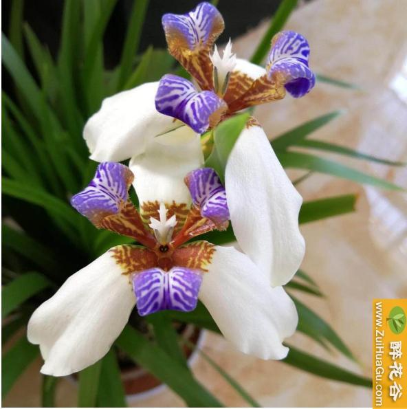 鸢尾花的种植方法